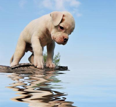 bordeaux dogge listenhund